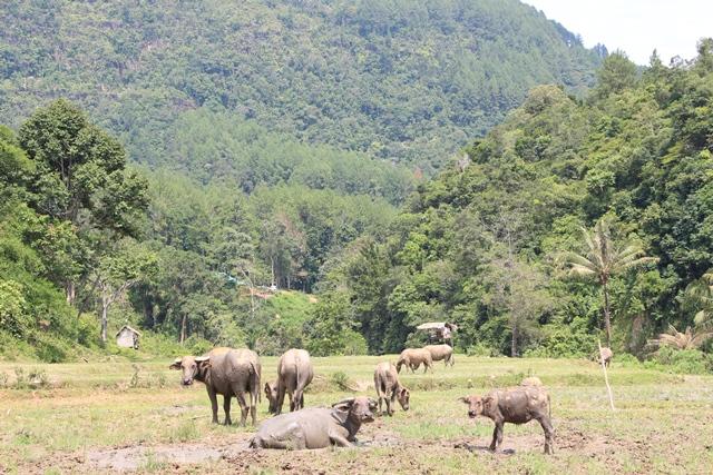 Kalau di New Zealand banyak sapi disini banyak kerbau